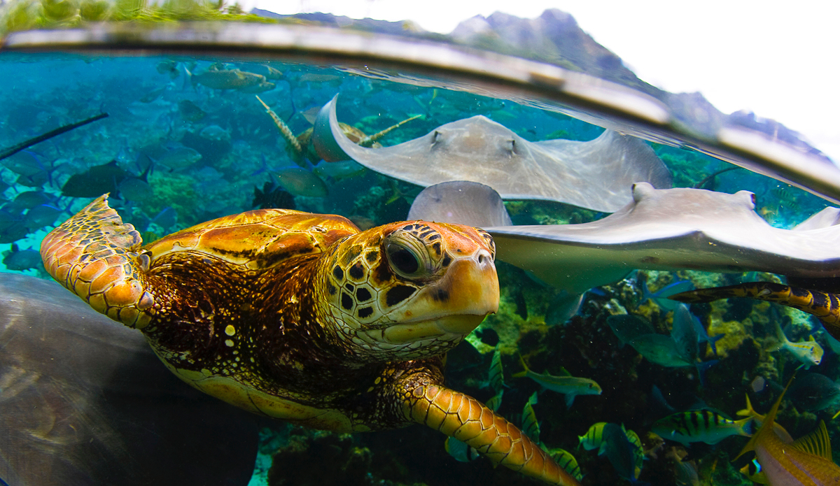 ""\""""I was shooting the Mantas and pushing them off me to get them in my viewfinder and I felt something tap me on my arm and looked down to see this turtle trying to get my attention. Crazy, crazy experiance."""" Photo: <a href=""""http://www.brianbielmann.com"""">Brian Bielmann</a>""1200|695|?|en|2|67e7e860bae7d63ebdbee5f9b9b58a4b|False|UNLIKELY|0.2930939197540283