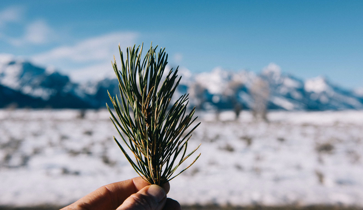 "Pine needles, Wyoming. Photo: <a href=\""http://instagram.com/deanblottogray\"">Dean Blotto Gray</a>"