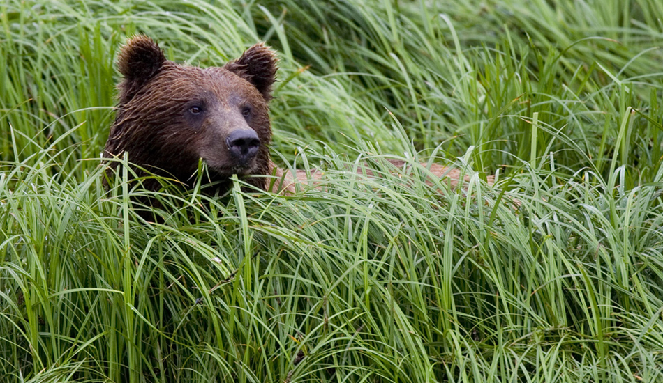 "Bear in the grass. Image: <a href=""http://www.paulferraris.com/\"" target=\""_blank\"">Ferraris</a>"