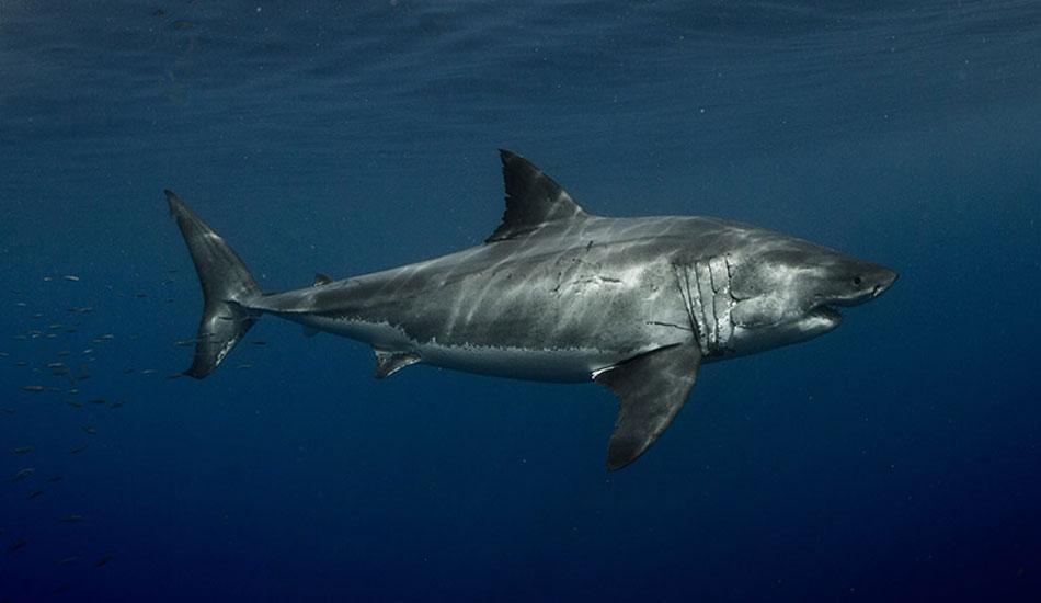 Shark culling in Australia Paper