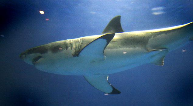 Great White Shark Monterey Aquarium