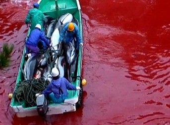 The horrific scene we found in Taiji, Japan at a location we dubbed the Killing Cove. Image courtesy of Oceanic Preservation Society
