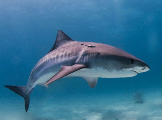 There was a run of tiger shark activity in Hawaii this weekend. Luckily, no encounters were fatal. Photo: Albert kok/Wikipedia Commons