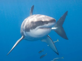 Adult great white sharks have an average size of 13-17 feet. Photo: Shutterstock