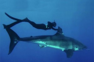 Beautiful Girl Swims with Great White Shark