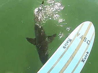 Paddling out on his stand up paddle board at California's El Porto, a Great White swam directly underneath Mike Durrant and his camera.