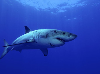 Are the delays just delays, or will they bring a change to Australia's shark cull? Photo: Shutterstock