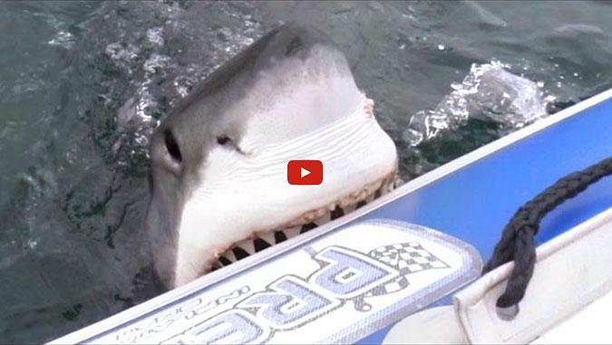 Great White Shark Eats Boat
