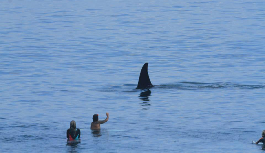 Killer Whale Shares Lineup with Uluwatu Surfers