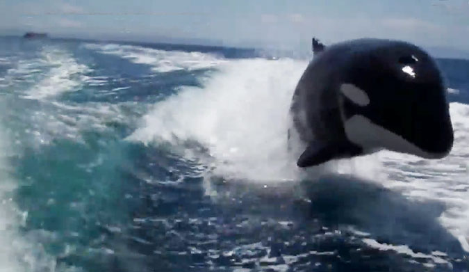 Playful Killer Whales Shred Behind a Boat
