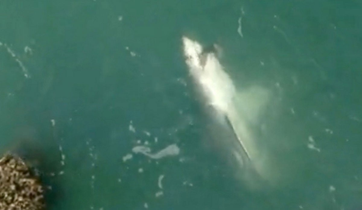 fisherman hooks great white shark while fishing off san
