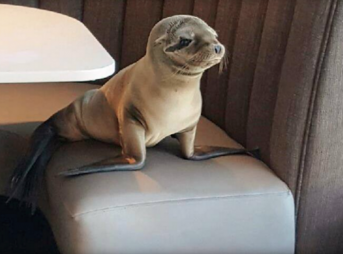 Employees found the sickly sea lion, who was less than half her appropriate weight, napping in a booth before they called in experts from SeaWorld. Photo: BERNARD GUILLAS/FACEBOOK