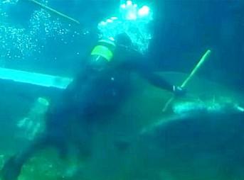Rugged Tooth Shark