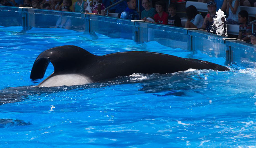 tilikum the orca is dying at seaworld the inertia