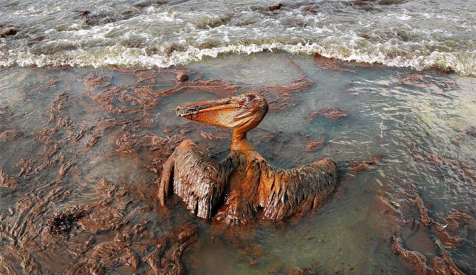 Oil-drenched pelican shows the immense environmental damage caused by the spill. Photo: Carolyn Cole