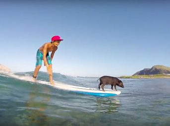 No one ever gets sick of a surfing pig