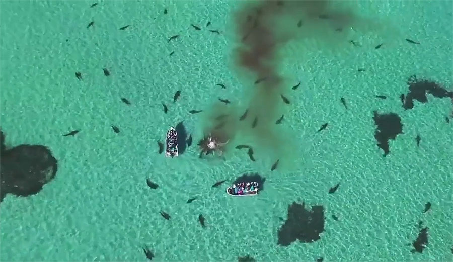 Tiger sharks will eat pretty much anything, but it's not clear whether they actually killed the whale. Either way, it's an amazing show of nature at its goriest.