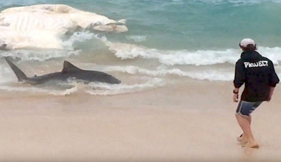 feeding frenzy shark