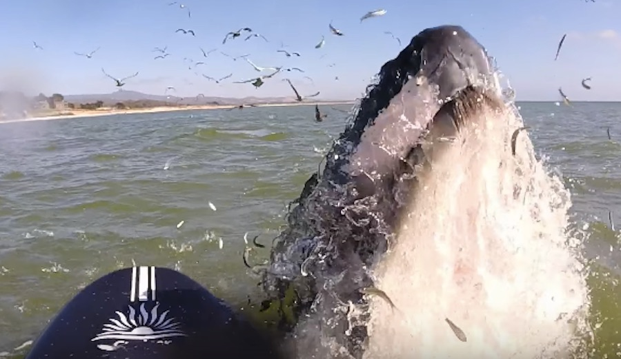 Humpack Whale Breaches for Flute Playing SUPer