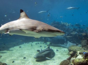 The WWF is trying to protect sharks at the Great Barrier Reef by buying a $100,000 commercial fishing license. Photo: Shutterstock
