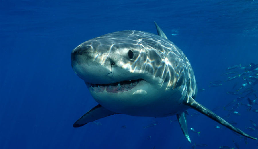 The South African great white shark population is in bad shape. Very bad shape. Image: Shutterstock