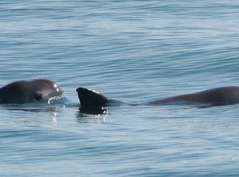 Keep the vaquitas...on earth. Photo: Wikipedia/Paula Olson, NOAA
