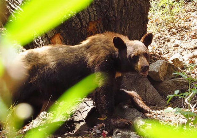Bear attack injures man in mountains east of Los Angeles