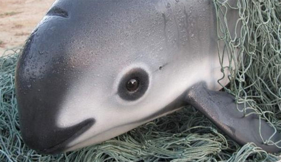 The vaquita porpoise is on the brink of extinction.