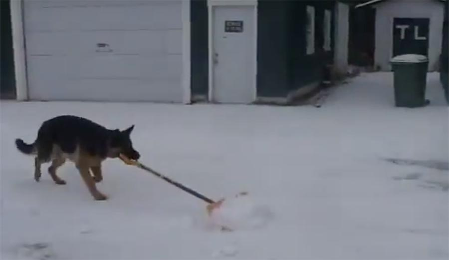 Dogs Are Awesome Watch This German Shepherd Shovel Snow
