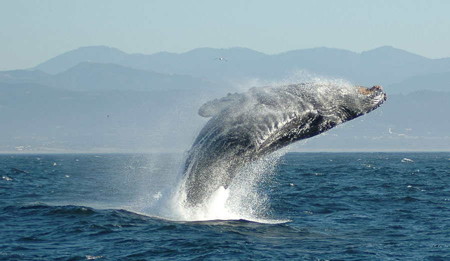A humpback whale breaching. Photo: Wikimedia Commons
