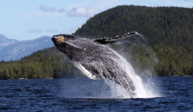 Taking a jump. Photo: Janie Wray/North Coast Cetacean Society, Author provided