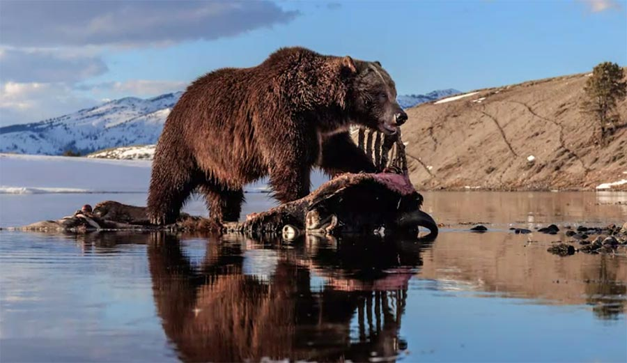 """A Photographer Set Up a """"Carcass"""" Camera in Yellowstone and the Results Were Awesome - TheInertia.com"""