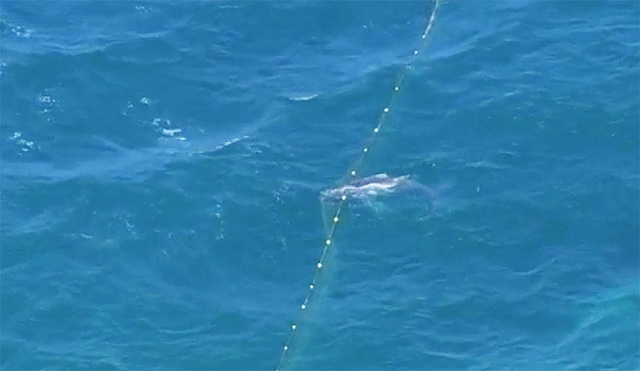 A humpback whale and her calf were caught in shark nets off Kurrawa Beach on Saturday. While the mother lived, the calf didn't. Image: Yahoo 7