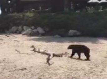 On Saturday, a black bear decided he was going to have a beach day at Rincon.