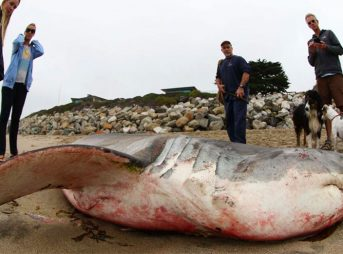 Covered in blood, it appears that the shark died after it was hit by a boat and cut by the propellors. Back in July, the city of Santa Cruz closed the area off to would-be ocean enthusiasts.