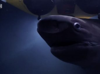 Six Gill sharks attack submarine Blue Planet