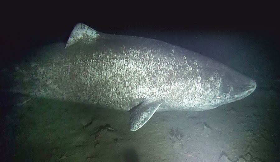 A large female Greenland shark observed near the community of Arctic Bay, Nunavut. Image: Brynn Devine/ Author provided