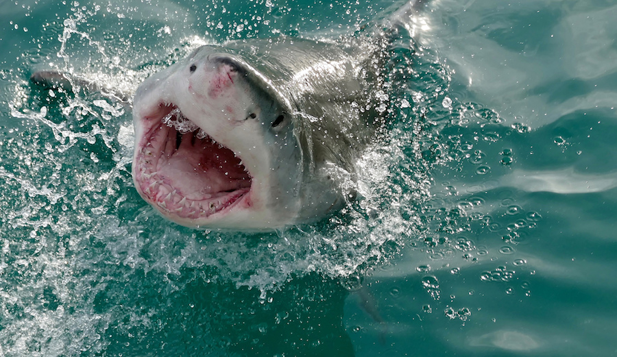 When, If Ever, Will the Shark Attack Capital of the World