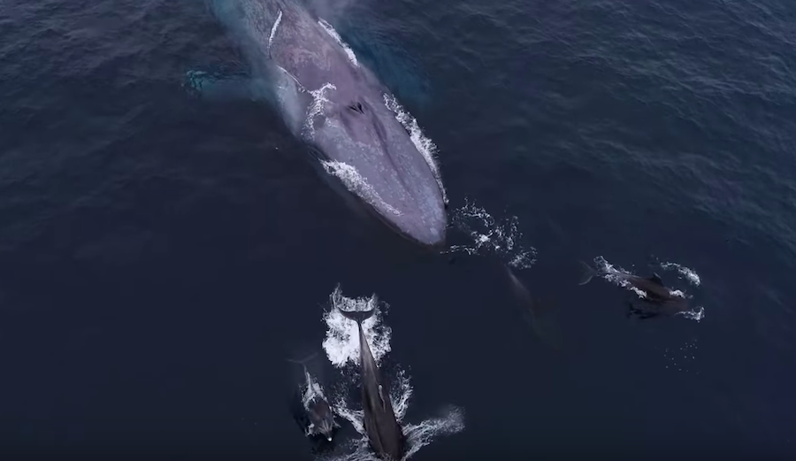 Incredible Video Shows Blue Whale and Calf Playing with Dolphins in San Diego