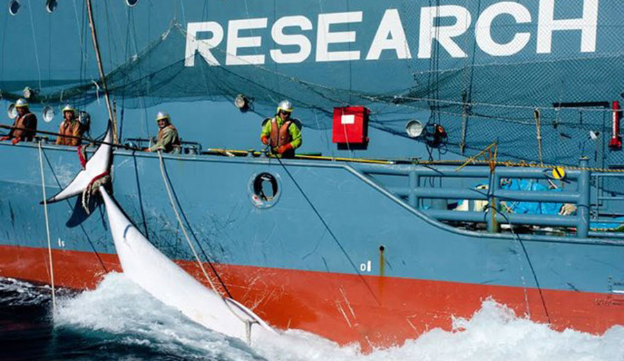 A harpooned whale hanging off the side of the Nisshin Maru. Image: Glenn Lockitch/Sea Shepherd