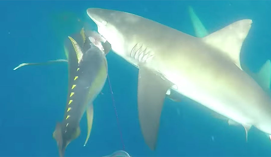 Watch This Spear Fisherman S Epic Battle With Sharks For