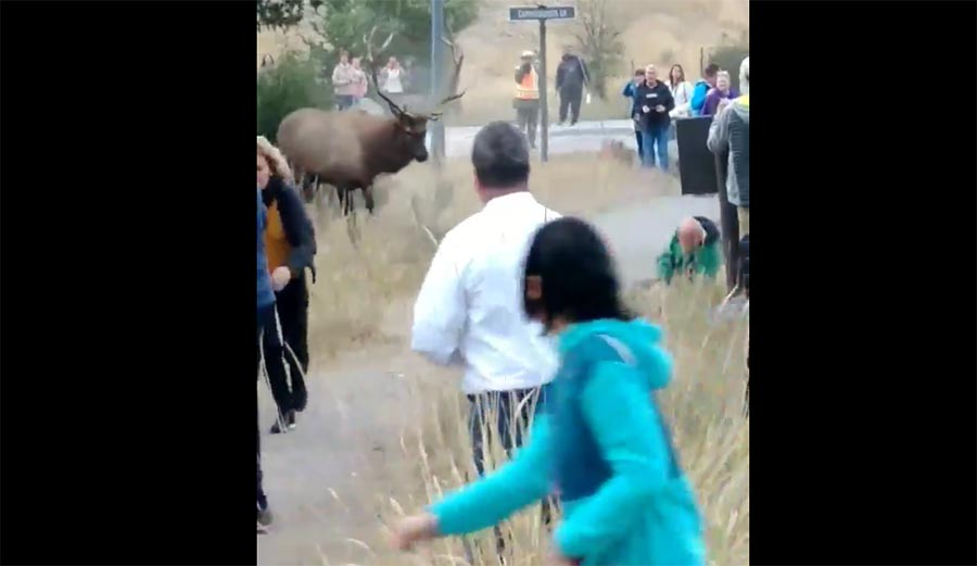 Watch This Elk Take Out a Tourist In Yellowstone National Park