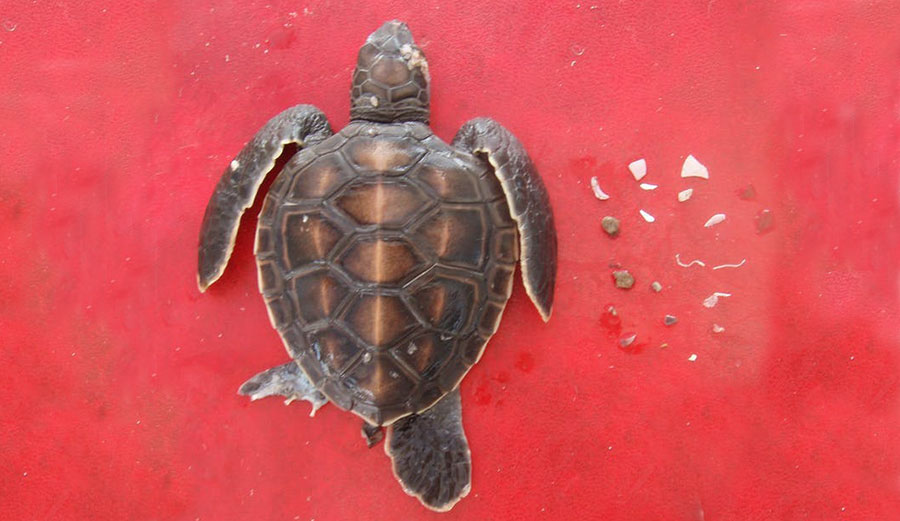 Guts Of A Turtle Diagram Schematic Diagrams