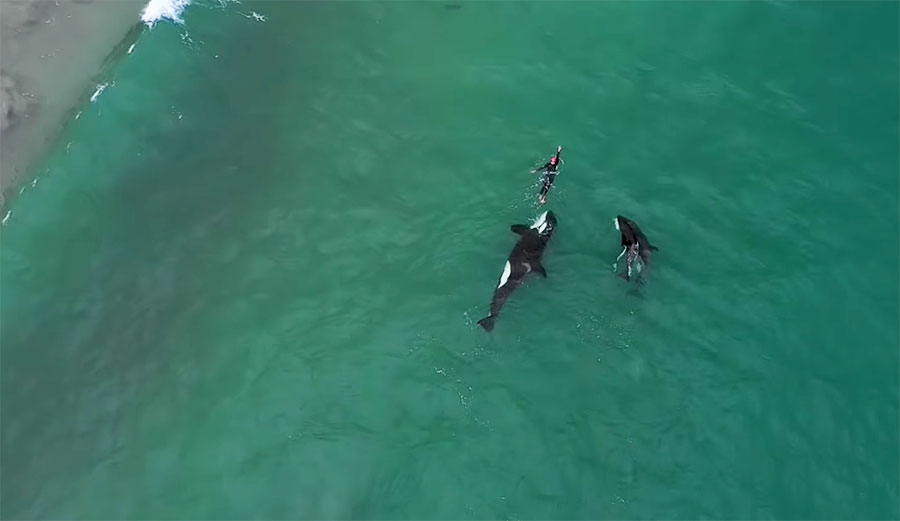 Watch the Beautiful Moment a Pod of Killer Whales Joined a Swimmer In New Zealand
