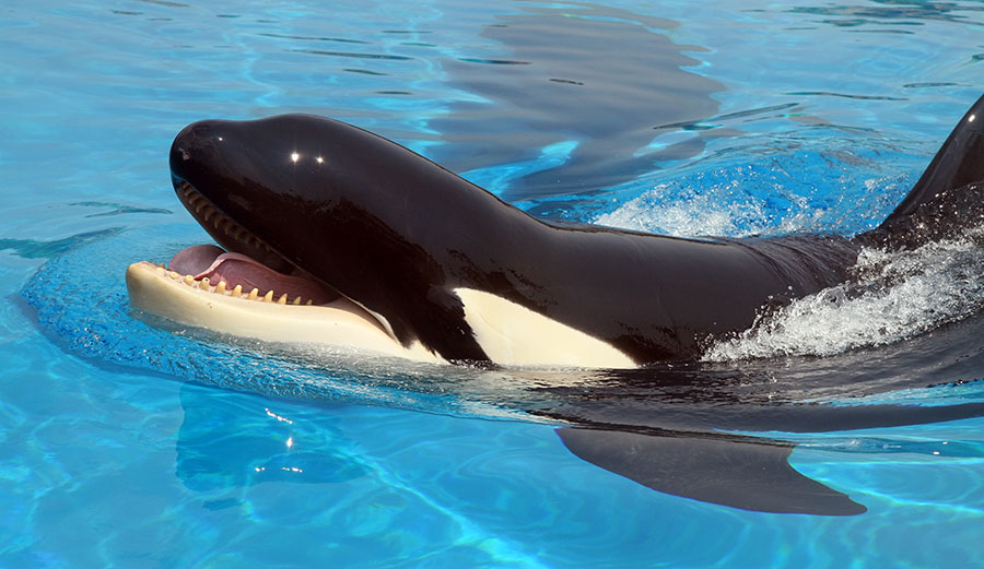 'Talking' Orca Stuns Researchers by Mimicking Human Speech