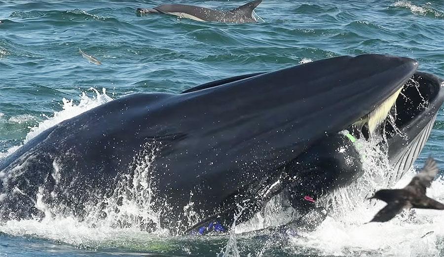 צפו ברגע המטורף שבו צוללן מצא את עצמו בפיו  של לוויתן