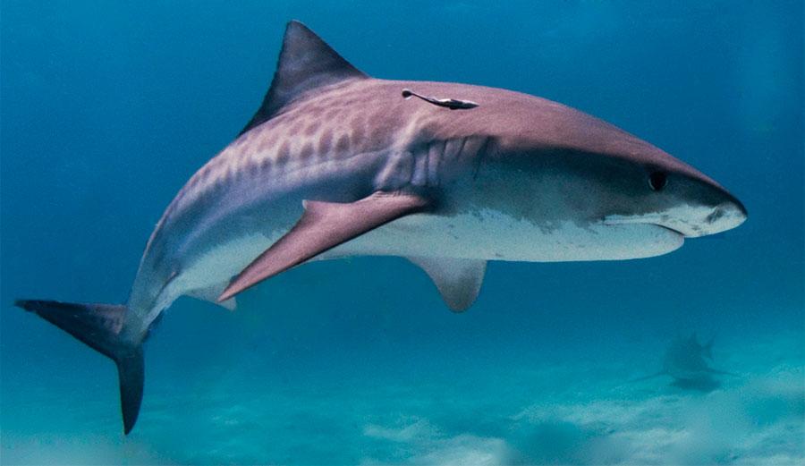 Shark Attack Kills California Man Vacationing in Maui