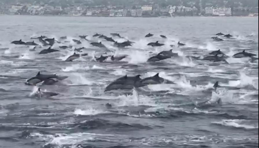 Watch This Mega Pod of Dolphins Light Up the Laguna Beach Coastline