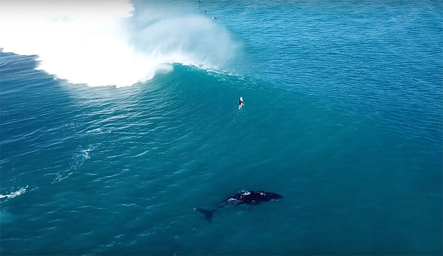 בחברה טובה: גדול סנפיר ודולפינים לצד גולשים במערב אוסטרליה