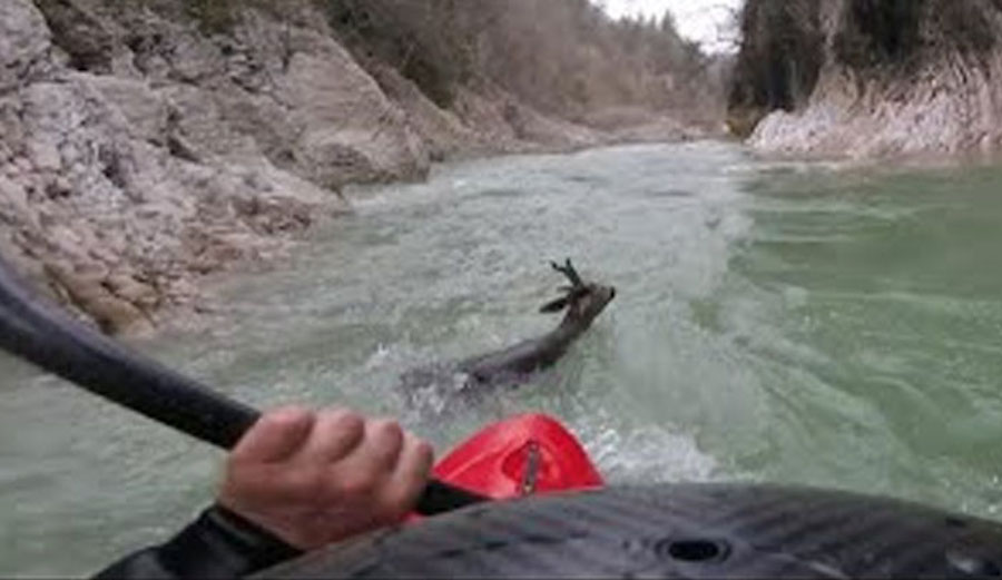 Kayaker Saves Deer as It Tumbles Down Whitewater on Italian River